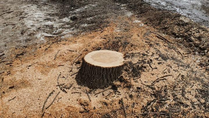 """«Всё началось с инициативы """"облагородить""""»: в Рыбинске массово вырубают деревья"""
