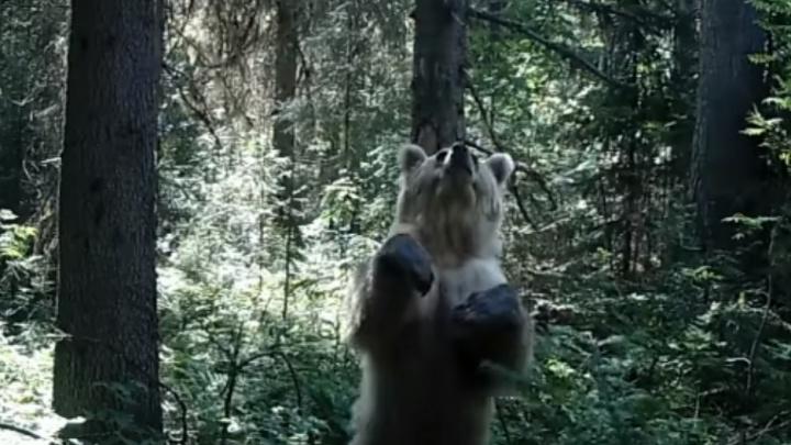 В фотоловушку Вишерского заповедника попал танцующий медведь. Видео