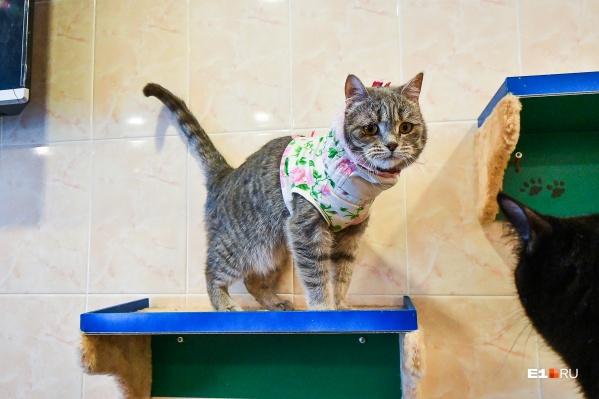 Оказывается, у кошек тоже бывают болезни из-за нервов. Лима носит рубашку и сидит на антидепрессантах, чтобы не расчесывать свое тело