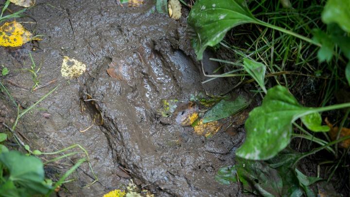«Берите с собой петарды»: к лагерю туристов на Кутурчине вышел непуганый медведь
