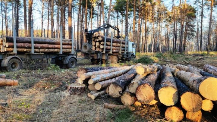 В Красноярке начали вырубать сосновый бор. В лесхозе назвали это санитарной рубкой