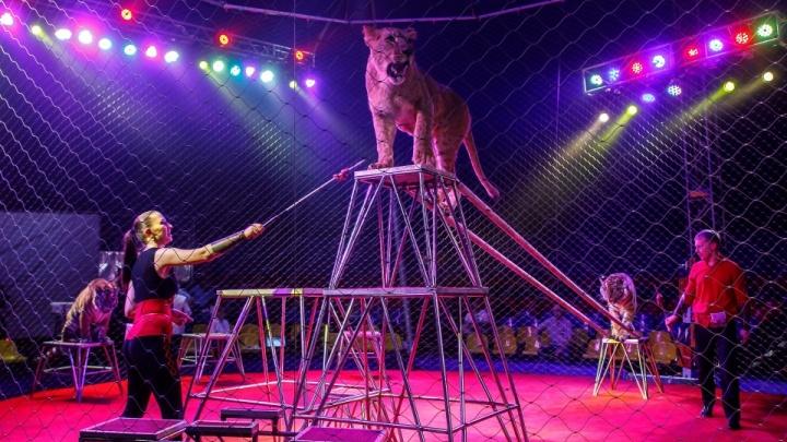 «Да пусть пикетируют сколько им хочется»: в Волжском зоозащитники начали протесты против цирка с тиграми