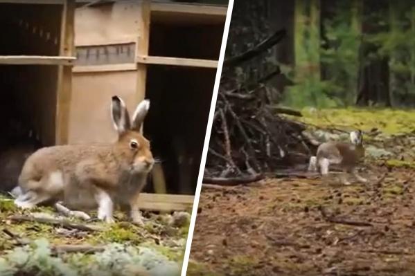 Зайцев-беляков впервые выпустили из зоопарка на волю