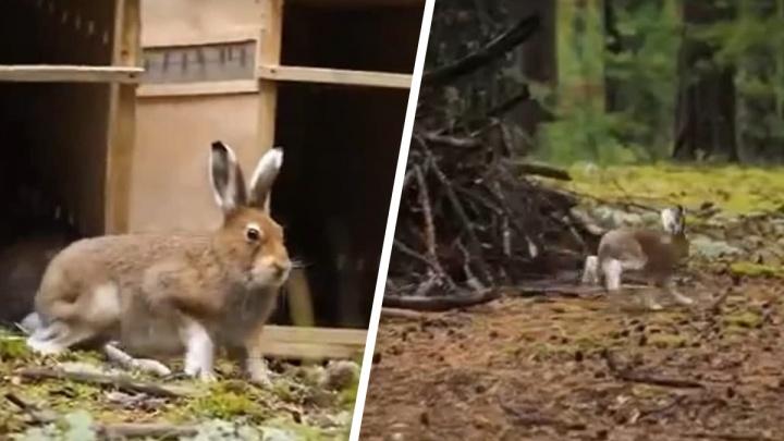 Из новосибирского зоопарка впервые на природу выпустили зайцев-беляков — трогательное видео