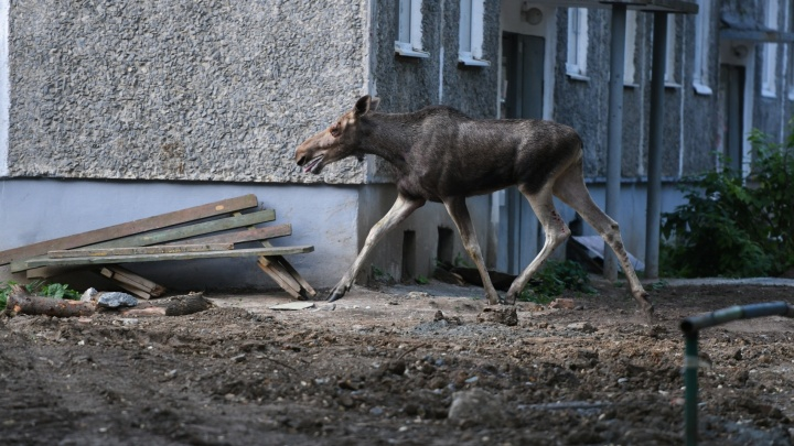 «Носится по дворам, только копыта сверкают!» В Екатеринбурге сняли на видео, как лось бегает по городу