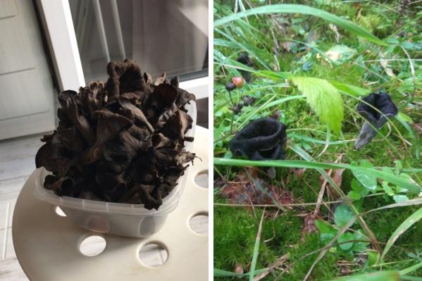 Редкий грибник осмеливается собирать черные лисички из-за пугающего цвета