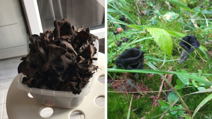 В лесах под Новосибирском нашли странные черные грибы — их называют «трубой смерти»