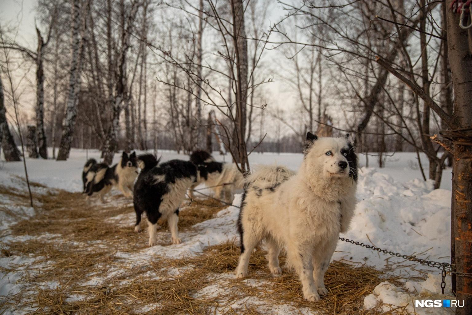 В заезде участвовали метисы, сибирские хаски и якутские лайки