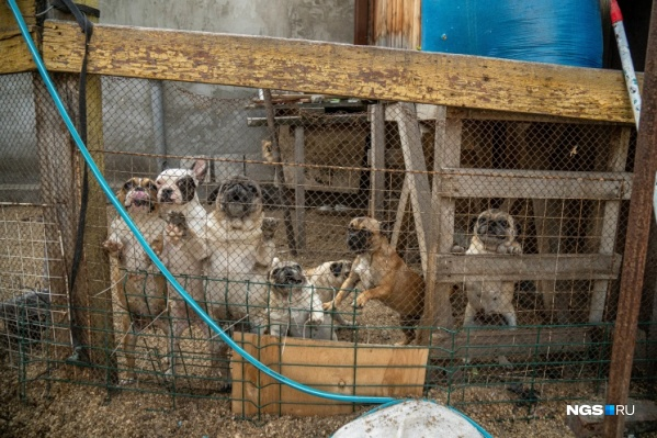 По словам соседей, иногда количество собак достигает больше 100 особей — из-за этого люди страдают из-за постоянных вони и шума