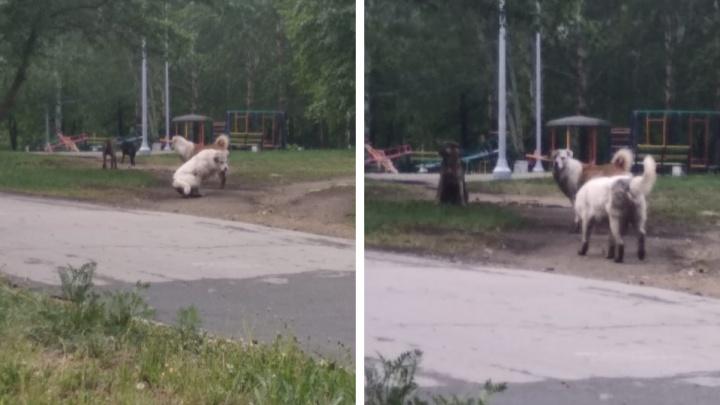 «Становятся всё агрессивнее». В екатеринбургском парке поселилась свора бродячих собак
