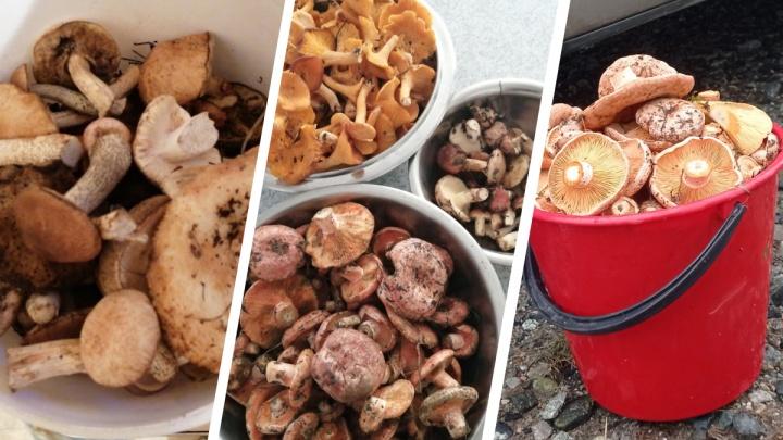 Рыжики, лисички, маслята и даже белые: свердловчане рассказали, куда ехать за грибами