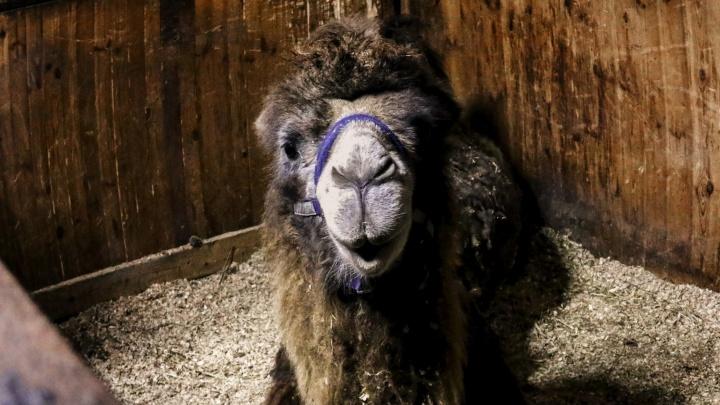 Из-за голода они ели шерсть друг друга: нижегородские волонтеры спасли верблюдов из цирка