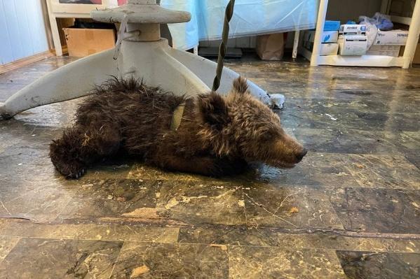 В Минэкологии предположили, что на медведей напали охотники