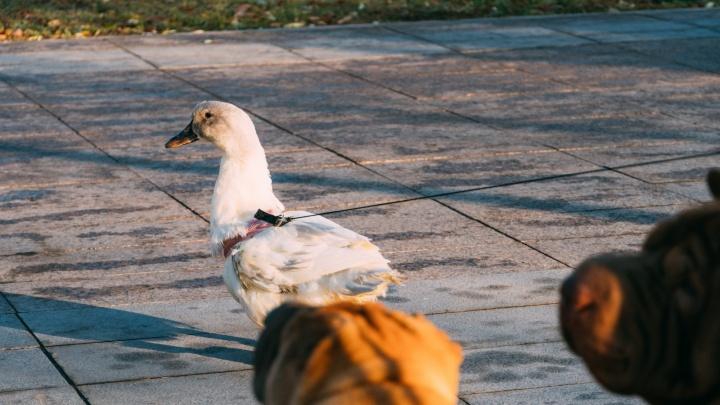 Умерла самая известная омская утка, воспитанная шарпеями