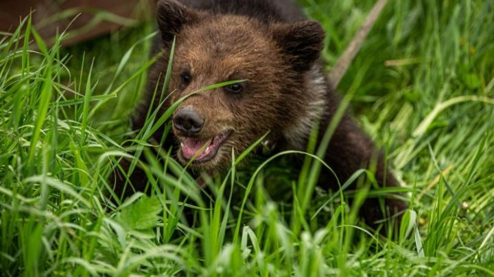 Жители деревни в НСО второй раз за месяц заметили медведицу с медвежонком: людей просят не ходить в лес