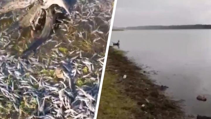 В Енисейском районе погибли тысячи мальков краснокнижного осетра. Прокуратура начала проверку