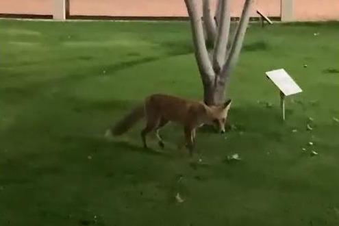 Летящей походкой: разгуливающая по центру Волгограда лиса попала на видео