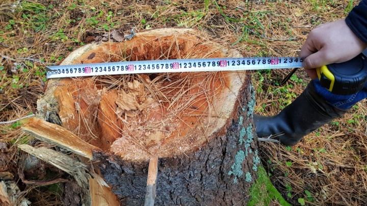 Вырубки, костры, свалки: сборщики кедрового ореха не дают жизни деревням на юге края