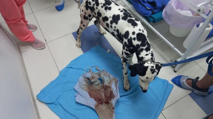 Далматинца, которого хозяин изрезал ножом, экстренно прооперировали в Екатеринбурге