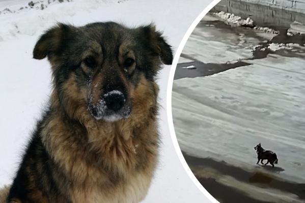 Если бы на помощь собаке не пришли подростки, скорее всего, она бы погибла