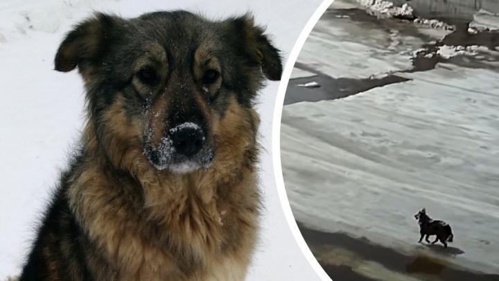 Подростки в Челябинской области спасли с дрейфующей льдины бездомную собаку. Теперь ей ищут хозяев