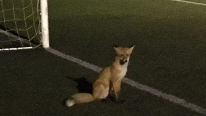 В Ярославской области на футбольное поле во время матча выбежала лиса