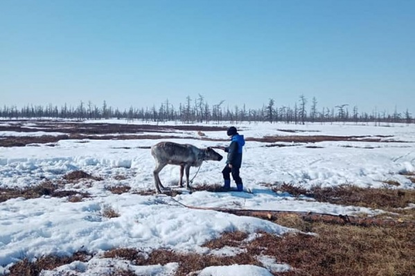 На фото — первая встреча жителя Волочанки с оленем