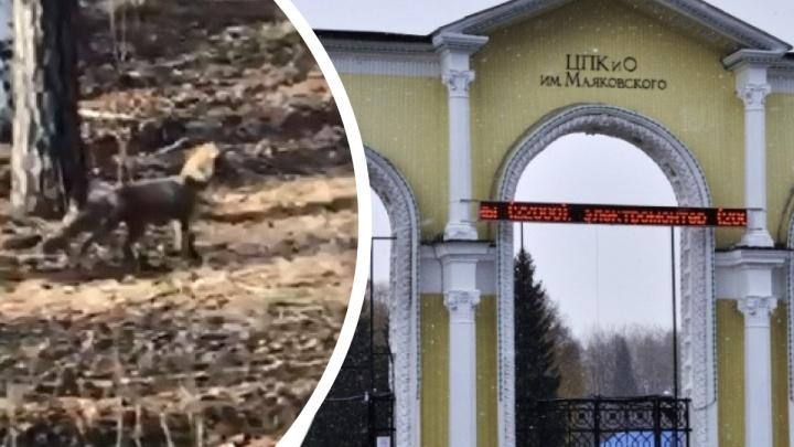 В парке Маяковского екатеринбуржцы заметили гуляющую лису