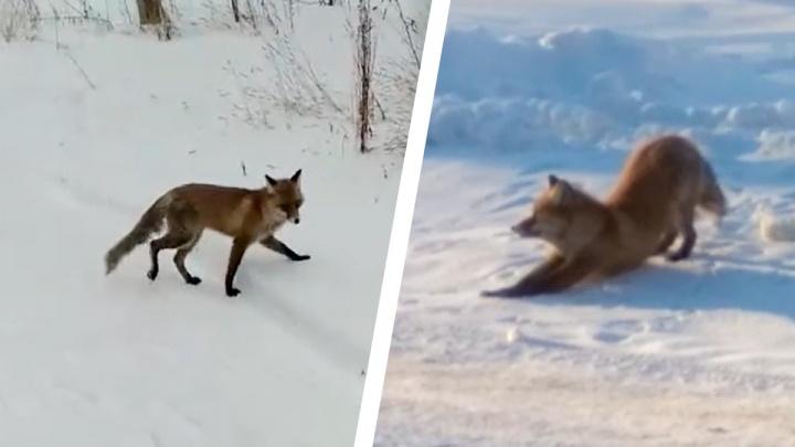 В Ярославле сняли на видео лиса, который вальяжно потягивался и не смущался прохожих