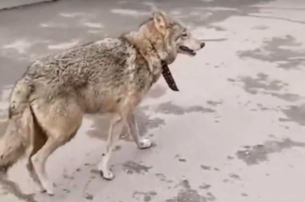 Волчицу нашли в центре Красноярска. Общественники хотят пристроить зверя в «Роев ручей»
