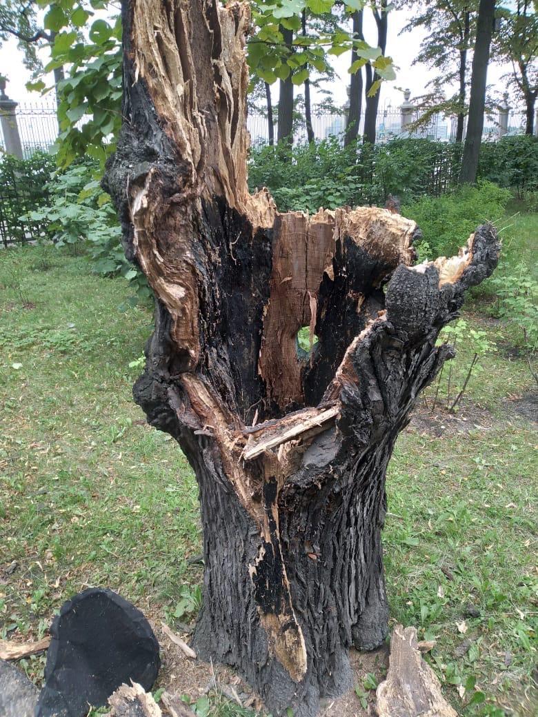 Липа, под которой гулял Пушкин, в Летнем саду уронила Сладострастие