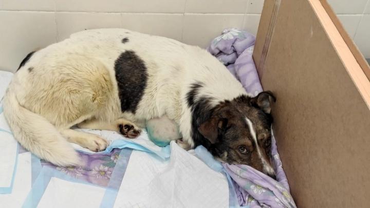 В Екатеринбурге спасают собаку без лапы, которая попала под поезд