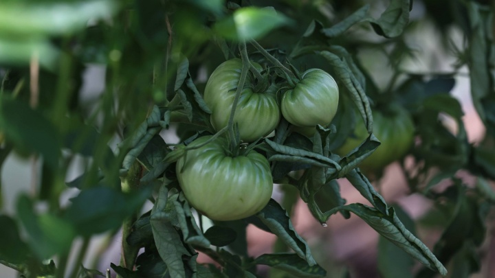 8 распространенных болезней томатов, и как с ними бороться