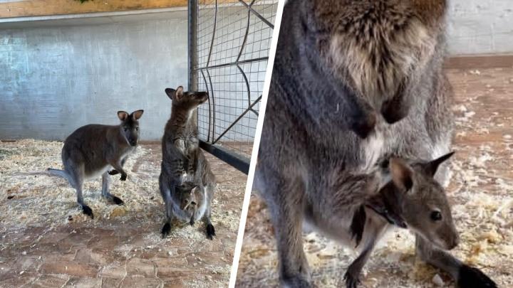 Милота дня: в тюменском зоопарке родился кенгуренок