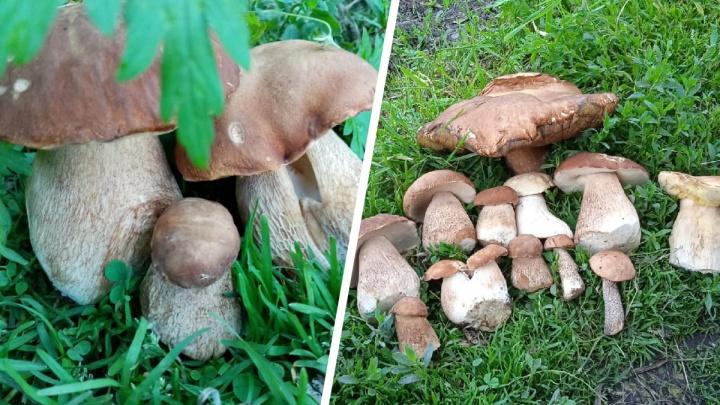В новосибирских лесах начался сезон белых грибов — рассматриваем фото первого урожая