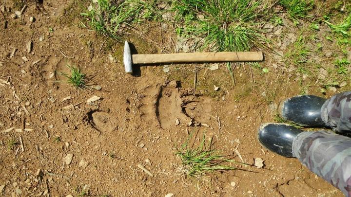 Ходите только днем: где заметили активность медведей под Красноярском