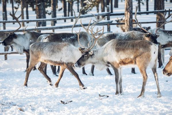 Северные олени предпочитают суровый климат