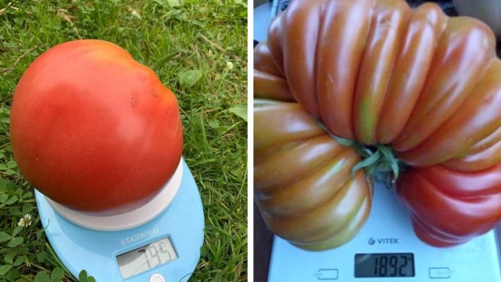 От 800 граммов до 2 килограммов: публикуем топ-15 гигантских помидоров с уральских дач