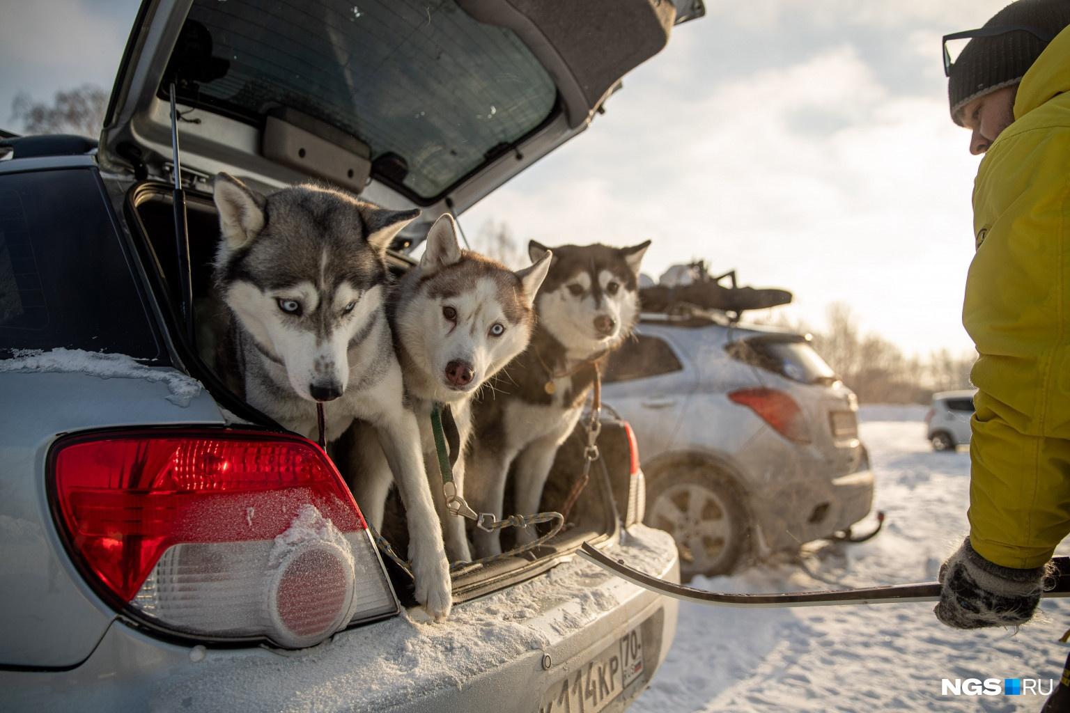 К собакам, участвующим в соревнованиях, тоже есть требования.К нарта-спринту и детским стартам допускаются собаки от 12 месяцев,в лыжи-спринт — с 18 месяцев