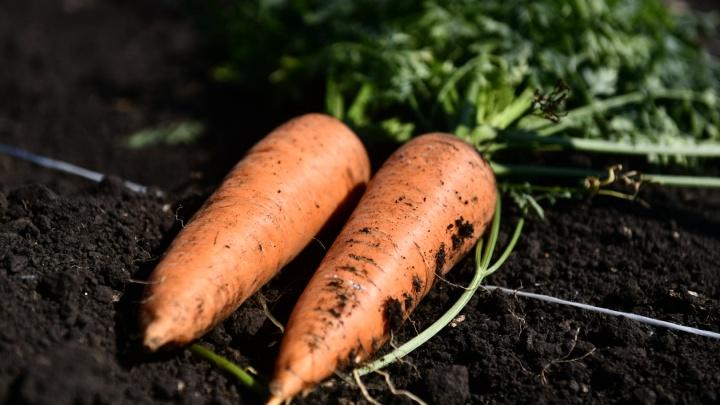 Запасайтесь на зиму! Сезонные овощи на Урале подешевели, но это ненадолго