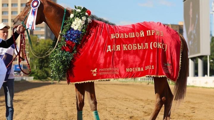 Кобыла чистокровной верховой породы конезавода компании «Сады Придонья» выиграла Большой Всероссийский приз