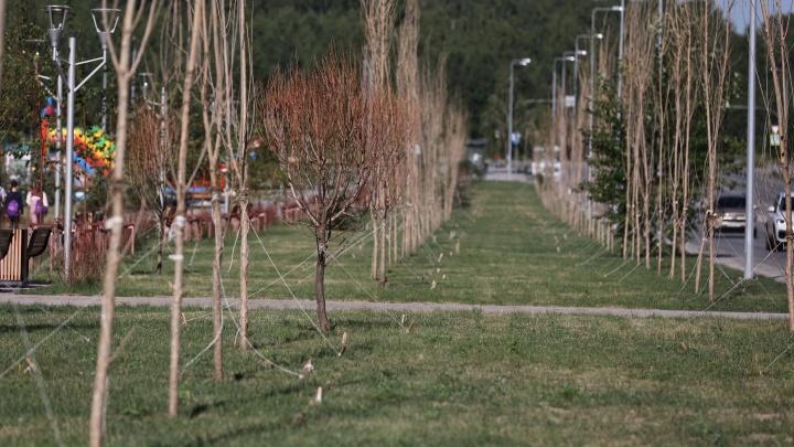 «Чернобыльский пейзаж»: в новом сквере на Тополинке высохли несколько сотен деревьев и кустов
