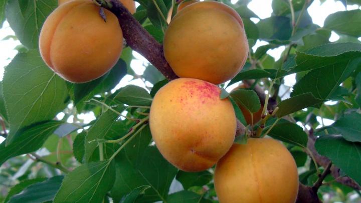 Уральские ученые вывели суперсладкий сорт абрикоса, который не боится 40-градусных морозов