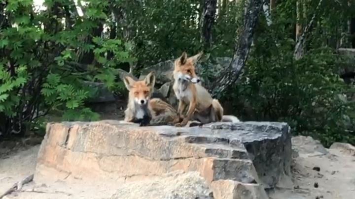 Екатеринбуржцы сняли на видео, как две лисы вышли к людям и позировали на камеру