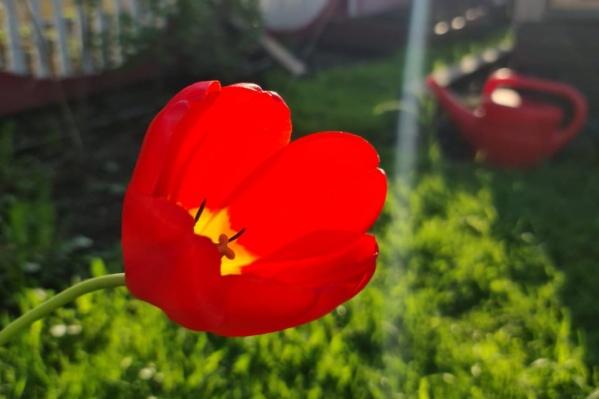 У кого-то на даче растут тюльпаны