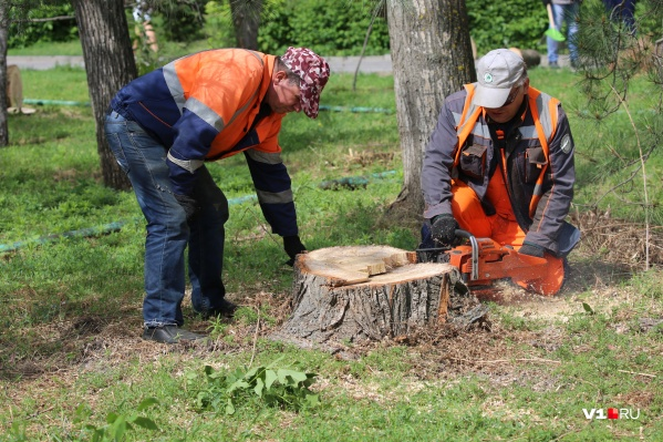 Высохшие деревья на набережной решено подвергнуть полному уничтожению