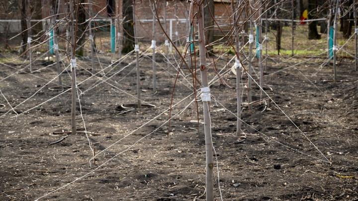 В Первомайском районе Ростова погибла треть саженцев. Их заменили, половина снова не прижилась
