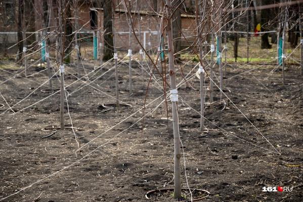 По словам эксперта, сейчас в Ростове высадку деревьев почти не контролируют