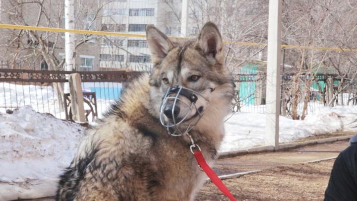 С волками интереснее: уфимка держит в квартире необычного питомца