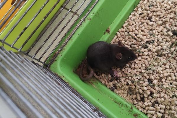 Этого крысенка вместе с другими разводили в качестве еды для змеи